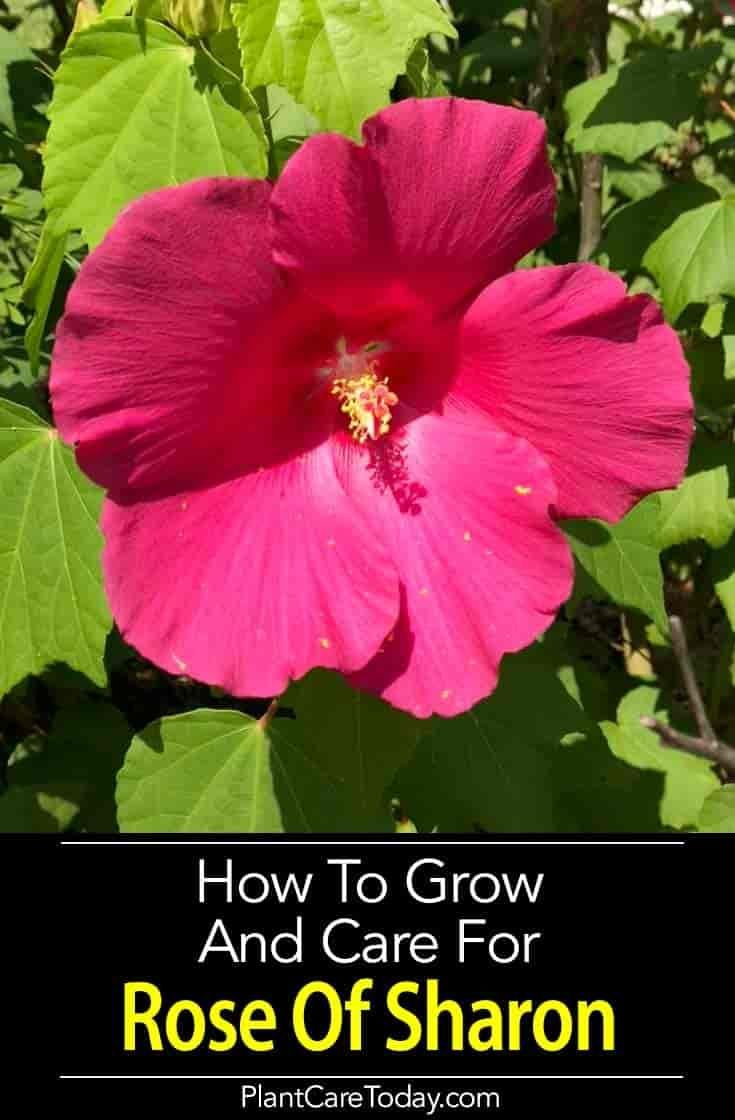 Rose Of Sharon How To Grow And Care For Hibiscus Syriacus Growing Hibiscus Rose Of Sharon Tree Rose Of Sharon Bush