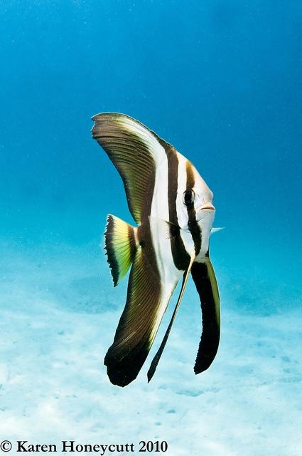 platax teira (teira batfish) juv., by karen honeycutt, via Flickr