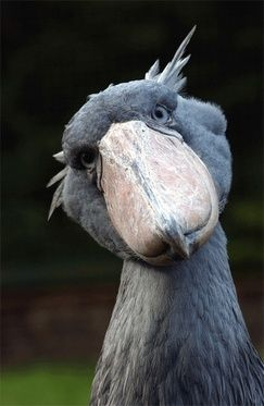 shoebill stork  (photo by halex)