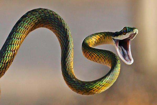 تفسير حلم الثعبان للعزباء والمتزوجة والحامل Snake Bites Snake Photos Snake