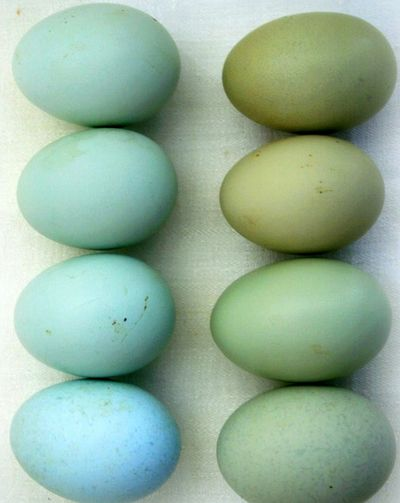 wish I had a farm! i'd have araucana chickens just so i could have blue eggs every day!!