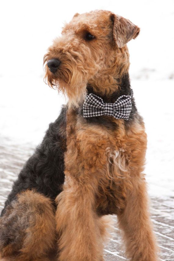 Airedale Terrier Dog bow tie / Plaid black and white dog collar and bowtie set /Dog bow tie / Classic dog collar