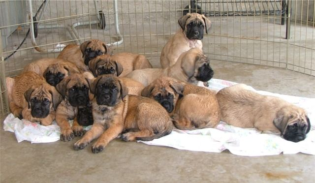 Midwest Mastiffs. Old English Mastiff Breeders puppies dogs