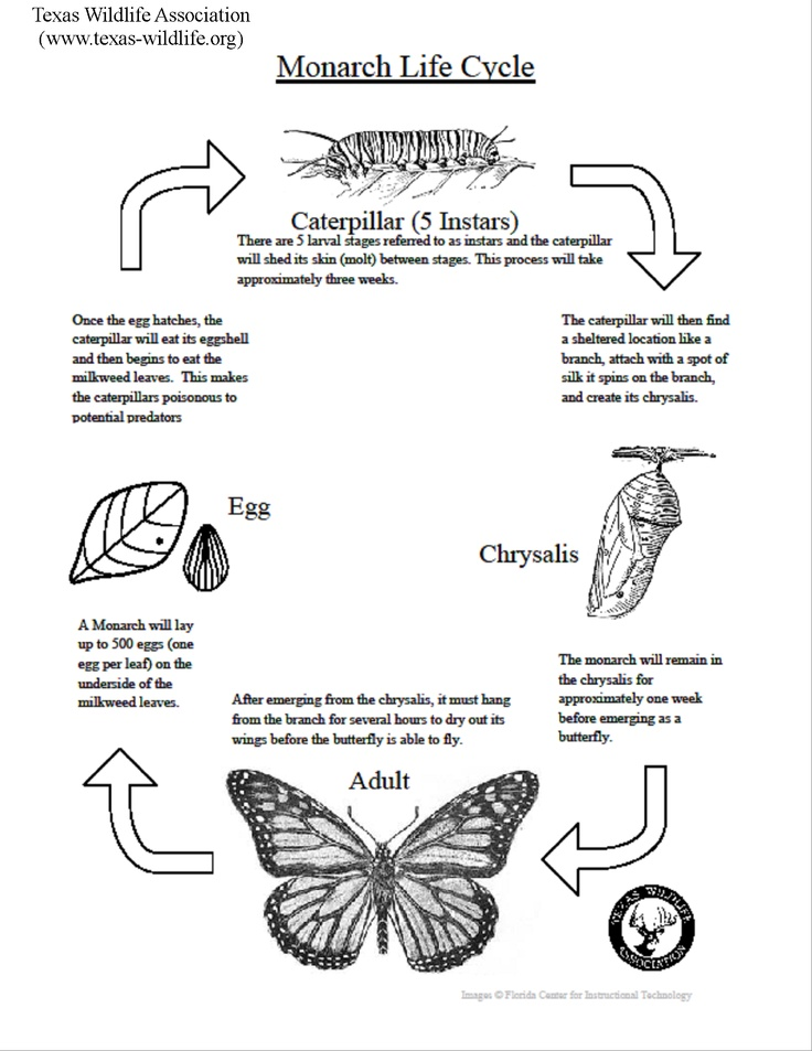 Printables Monarch Butterfly Worksheets 1000 images about monarch butterfly education unit on pinterest life cycle lesson texas wildlife association