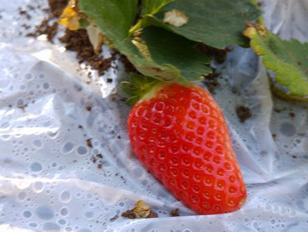 """Treat yourself to fresh homegrown strawberries, pleasing to the eye and pallet, easy to cultivate in planters or raised garden beds. Growing garden strawberries (or Fragaria × ananassa) in a greenhouse, winter garden or conservatory can allow them to yield fruit before their """"season"""" comes about."""