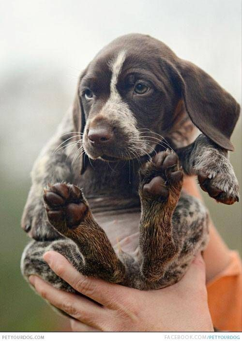 German Shorthaired Pointer ⏩ a breed of dog developed in the 19th century in Germany for hunting. Description from pinterest.com. I searched for this on bing.com/images