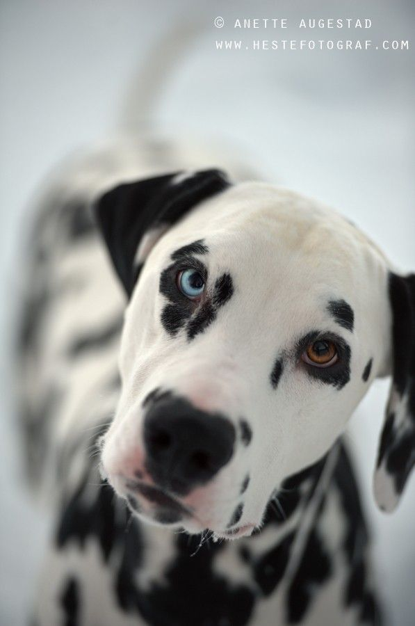 I WILL GET A DALMATIAN WITH ONE BLUE EYE AND ONE BROWN EYE AND I WILL NAME HIM CORINTHOS!!!!! Can't Wait. LOVE