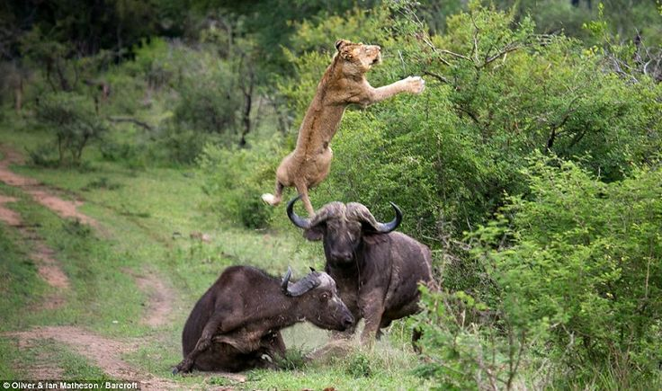 'It was insane, he flipped the lion about 5 metres into the air. I had never seen anything like it,' said Oliver