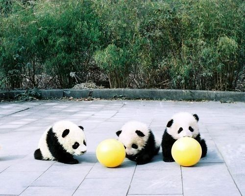 Three baby pandas playing with two yellow balls - too cute since the balls are almost as big as they are :)