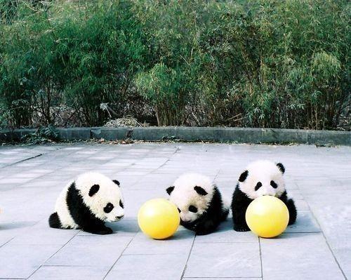 ❤Cute Animal, Pandas Baby, Ball, Pandas Plays, Baby Animal, Adorable, Things, Baby Pandas Bears, Panda Bears