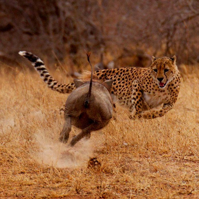 Porter, Stu - Warthog Turns on Cheetah, Tshukudu Private Game Reserve, South Africa, I