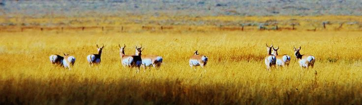 """https://flic.kr/p/PfujrW   Pronghorns    Though not an antelope, it is often known colloquially in North America as the American antelope, prong buck, pronghorn antelope, or simply antelope because it closely resembles the true antelopes of the Old World and fills a similar ecological niche due to parallel evolution.  The pronghorn is a unique North American mammal. Its Latin name, Antilocapra americana, means """"American goat-antelope,"""" but it is not a member of the goat or the ante..."""