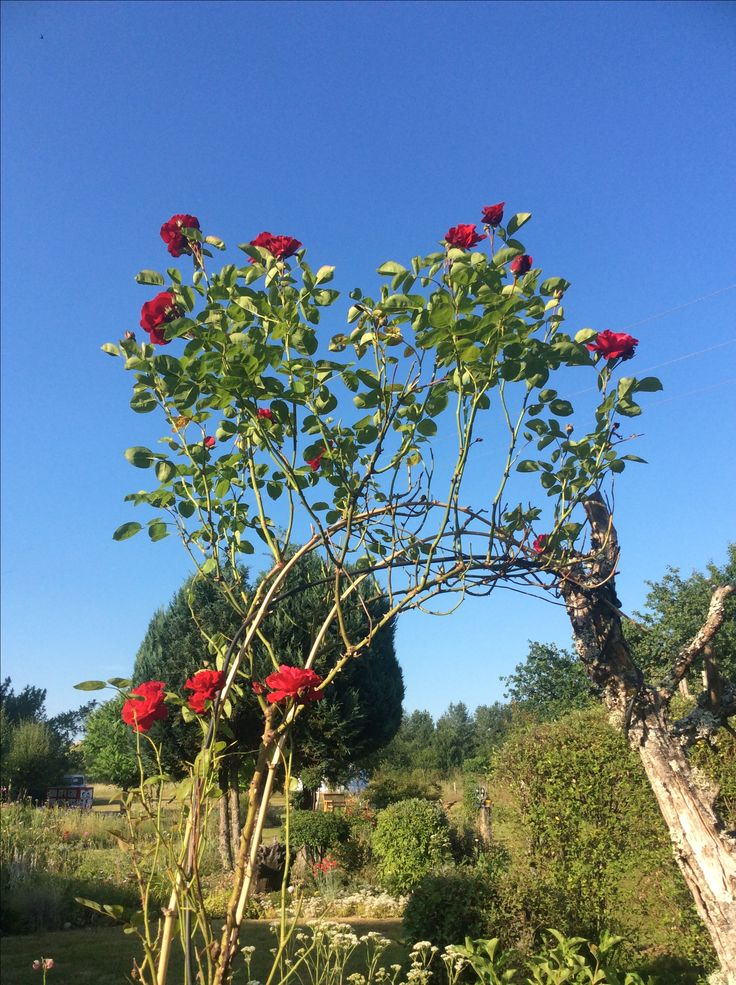 Blue skies and red roses at La Ribiere Sud, Haute Vienne www.la-ribiere-sud.com