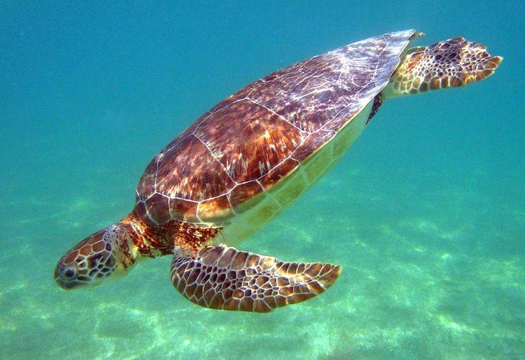 Sea turtle at Akumal Beach, Mexico