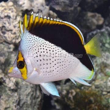 Thinker's Butterflyfish (Chaetodon tinkeri), Hawaii