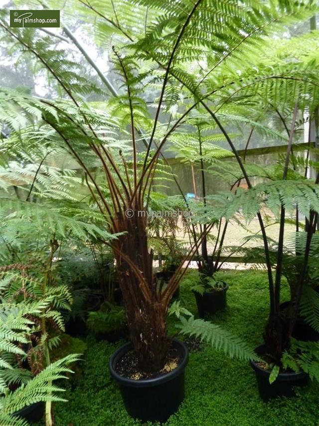 Dicksonia squarrosa Rough tree fern - Wheki   Robustité a froidProtégez dessous de -7°c HumiditéTenez humide SoleilTolère l'ombre  Belle fougère arborescente au tronc et aux tiges sombres  Cette fougère arborescente est originaire de Nouvelle-Zélande. La Dicksonia squarossa est reconnaissable à son stipe mince, ses feuilles presque noires et ses fréquents rejets au niveau des racines ou du tronc.  Cette fougère arborescente peut atteindre 3 mètres de haut. Elle se plaira à l'ombre dans un…