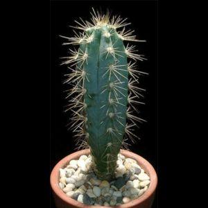 Pilosocereus Azureus (Blue Torch Cactus) Seeds