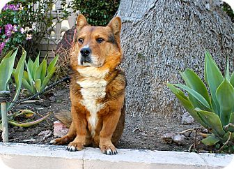 Los Angeles, CA - Corgi/Shepherd (Unknown Type) Mix. Meet Harvey, a dog for adoption. http://www.adoptapet.com/pet/17962358-los-angeles-california-corgi-mix