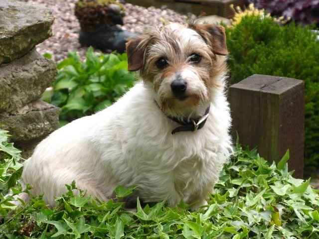 My Lucas terrier - Mabel