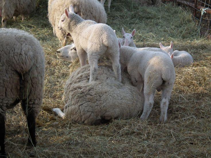 Purebred Border Cheviot lambs playing on mom