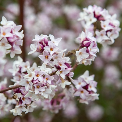 Evergreen, heavily scented winter flowers. Suitable for a sheltered area, ideally by a front door where its lovely scent can be better appreciated.