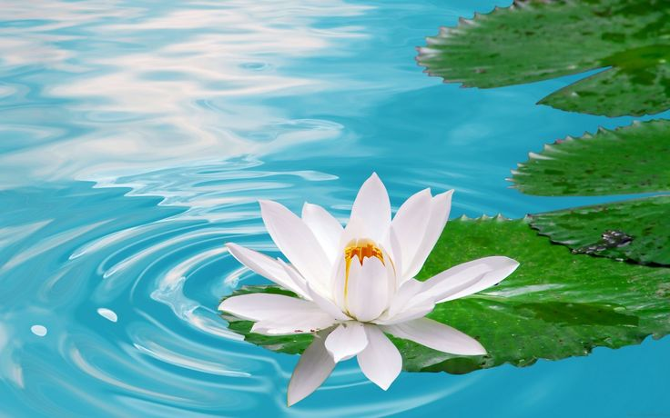17 Best Ideas About Lotus Flower Wallpaper On Pinterest