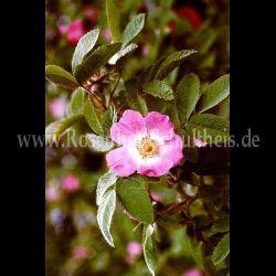 Rosa villosa #2 - Rosa - Wildrosen - Historische_Rosen - Rosen - Rosen von Schultheiss schöne apfelförmige hagebutten