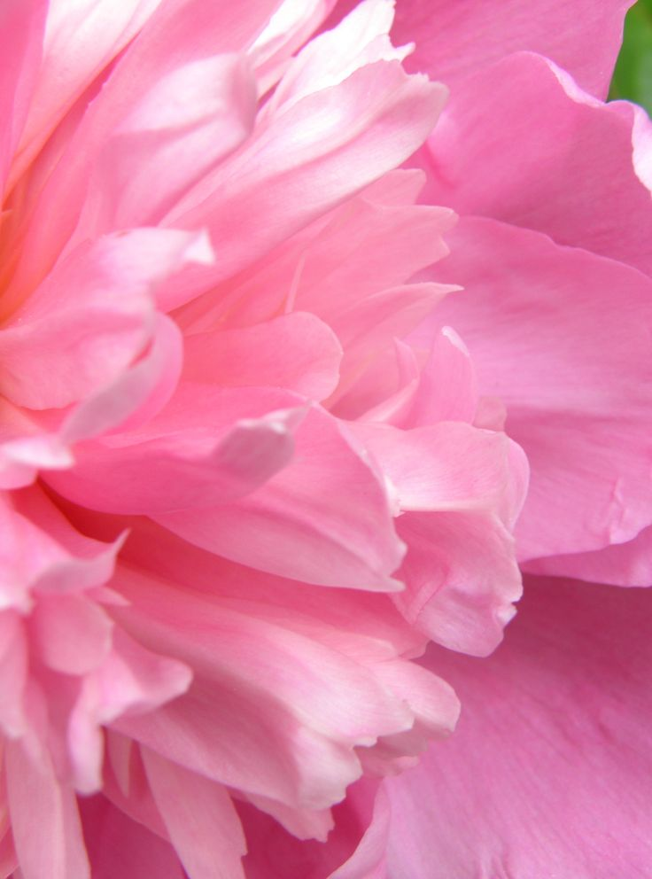 "lifeisonlyfornow:  ""Original photo of a pink peony. Do not remove caption or source.  """