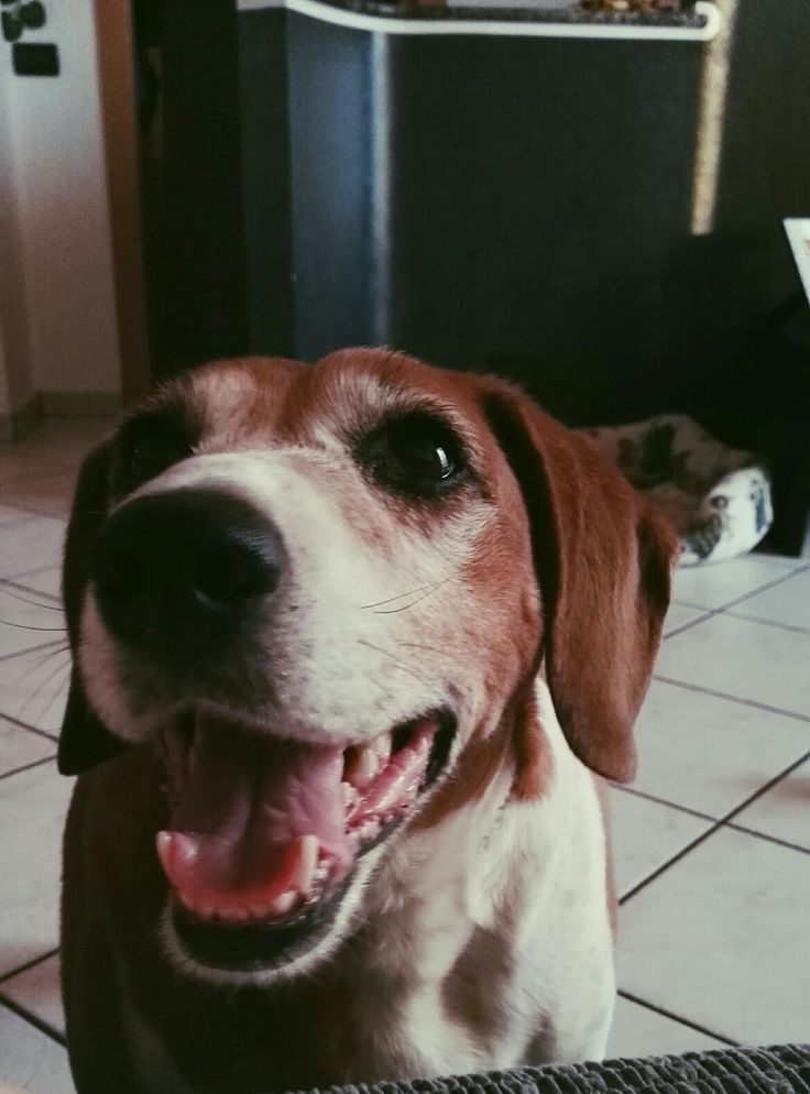 Dea, smiling, smile, beautiful, dog, beagle, love