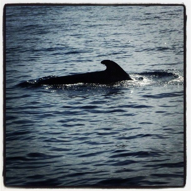 Pilot Whale, Costa Adeje, Whale Watching