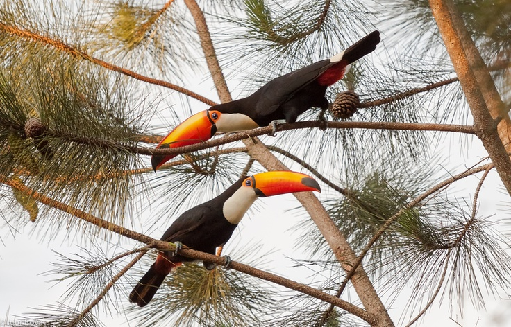 Great toucans are getting loud in front of the Iguazù Airport, Argentina.