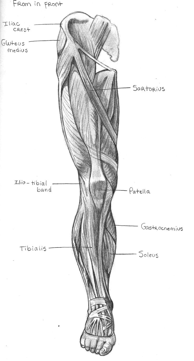 138 best archive human anatomy images on pinterest human leg front view pooptronica