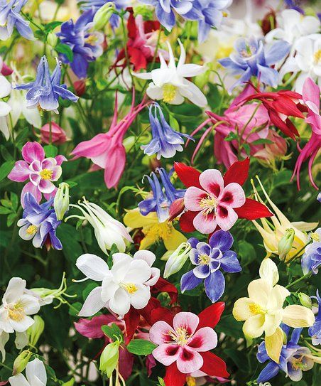 Spring Hill Nursery Butterfly Columbine Bare-Root - Set of Six | zulily