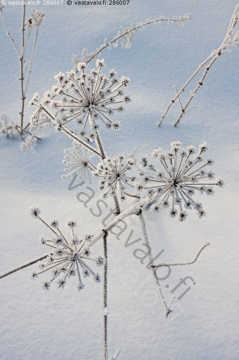 Kuurankukka - huurre kuura jää lumi kukka kylmä hanki kasvi koiranputki talventörröttäjä kuiva  oksa