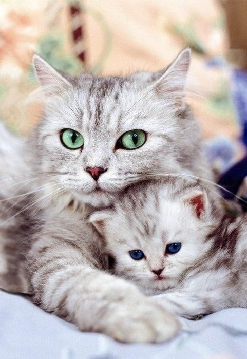 Mama kitty  her kitten. Piercing green eyes and deep blue eyes. These two are gorgeous together.