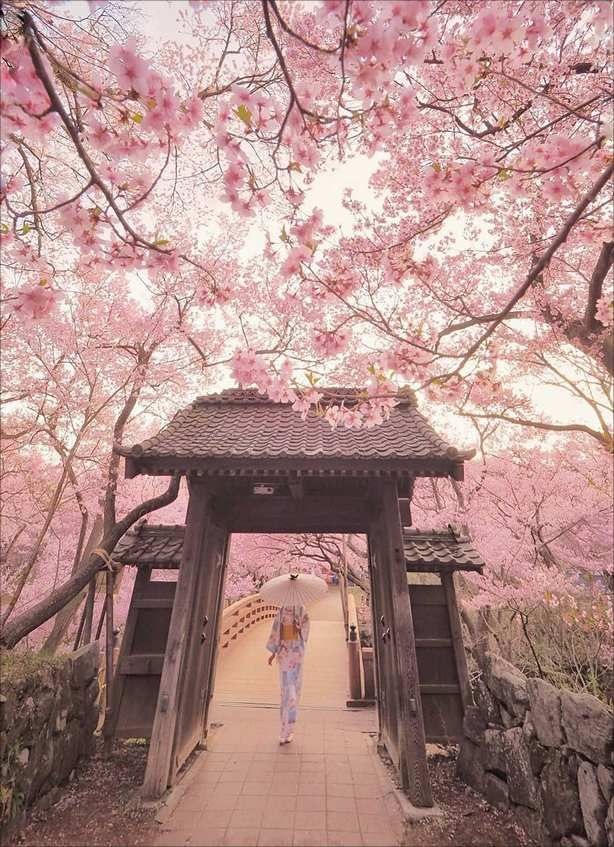 The Bloom Of Cherry Blossoms In Japan Cherry Blossom Japan Cherry Blossom Wallpaper Nature Photography