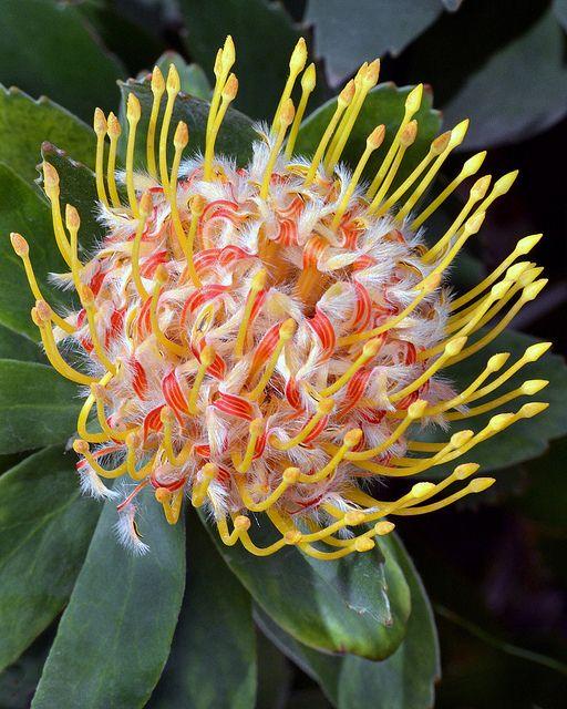 Beautifully unusual, with a soft, fluffy pom base: Protea, native to Australia.