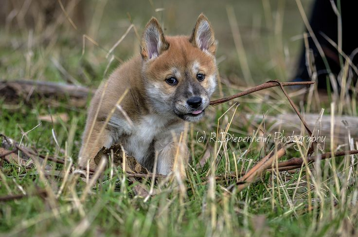 https://flic.kr/p/vfG6Y1 | Red dingo pup chewing on gum bark