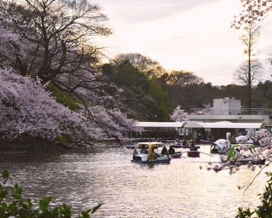 455:「桜も夕暮れも一瞬の儚さ。」@井の頭恩賜公園