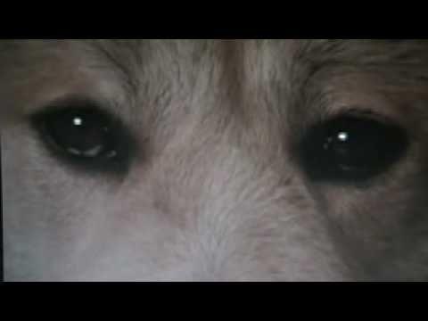 Hachiko monogatari, o cão Akita.  Música: Bittersweet (Agridoce), de Within Temptation.  O maravilhoso filme de 1987 Hachiko Monogatari conta a história verdadeira de devoção de um Akita ao seu mestre.  - YouTube.