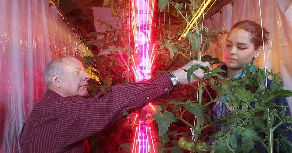 Using LED lighting instead of traditional high pressure sodium lights to grow tomatoes in greenhouses during the winter could cut costs and boost local food production.