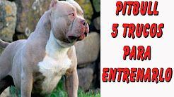 5 Trucos para Entrenar un Perro Pitbull (Prevención de Conductas Agresivas y Rehabilitación) - YouTube