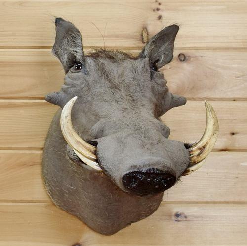 10  Warthog Tusk for Sale SW5398