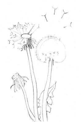 26 best how to draw images on pinterest drawing for How to draw a dandelion step by step
