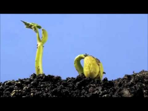 haricot croissance-growth of beans