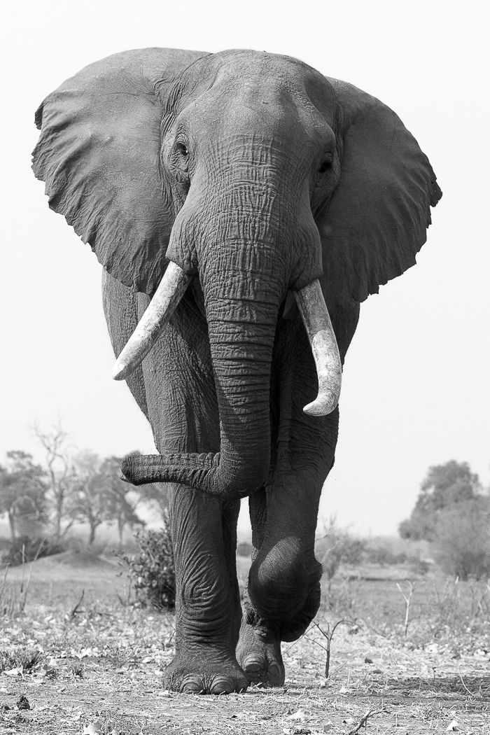 To give this bull elephant the respect that he deserves and to portray the incredible power, I decided to make this a portrait shot and try ...