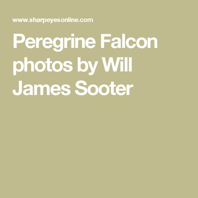Peregrine Falcon photos by Will James Sooter