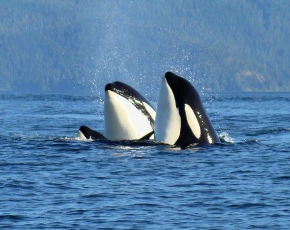 Similar to visiting Alaska, a trip to the western side of Vancouver Island is where you'll see migrating pods of whales of all varieties.  As with Alaska, Grey Whales dominate the sightings, but Minke and Humpback Whales are also visible. Along with this, the island is also rich in seals, sea lions, dolphins and many sea birds.