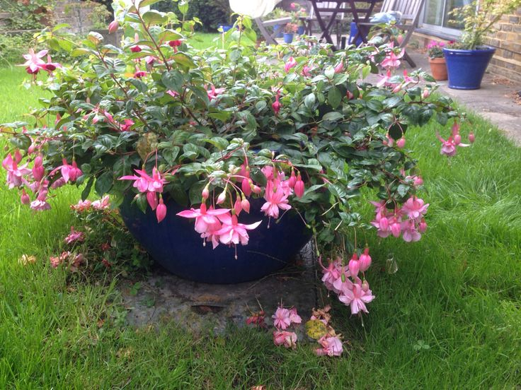 fuschia in large pot sept - Large Garden 2015