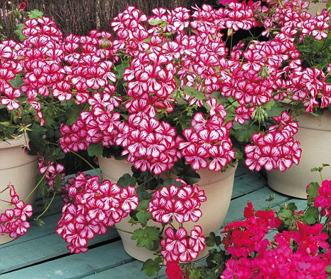 Don 39 t let the frost ruin next summer expert tips for long lasting geraniums the winter the - Overwintering geraniums tips ...